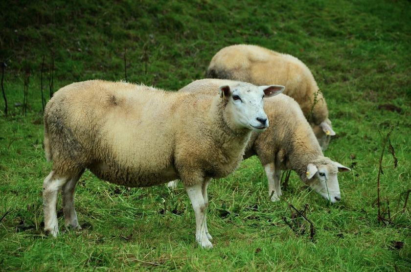 sheep-992924_1920